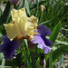 Iris Edith Woolford (2)