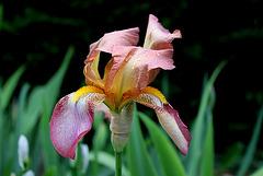 Iris Ancien  tourmenté par le vent