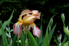 Iris Ancien  , dans le vent malgré tout