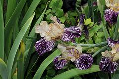 Iris Gnu Flash (4)