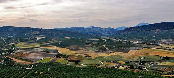 Paisaje de trigo y olivos