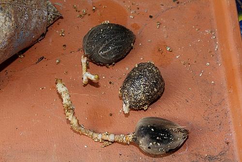 Pré-germination de Palmiers en sac  (3)