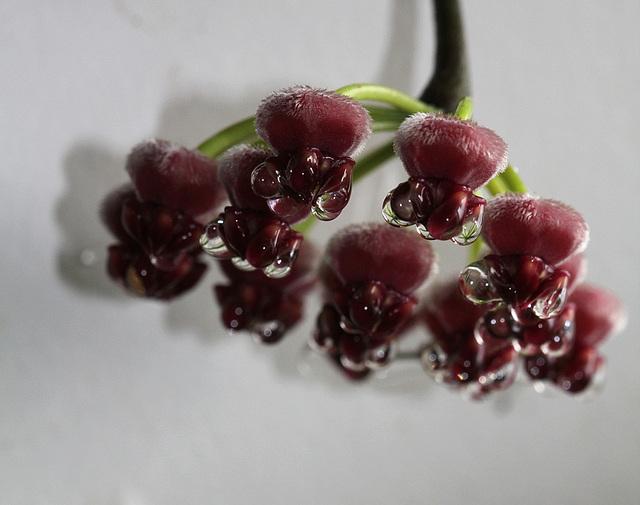 Hoya wayetii- nectar (3)