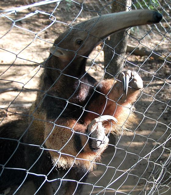 Paraguay: Norbert's giant anteater...Myrmecophaga tridactyla (endangered)