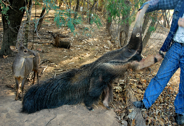 Paraguay: Norbert's giant anteater...Myrmecophaga tridactyla (endangered)