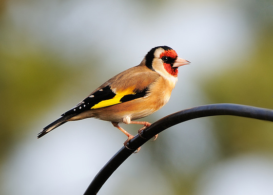 Goldfinch (a)