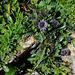 Globularia cordifolia (2)