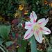 Tulipe fleur de lis (2)