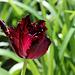 Tulipe perroquet (2)