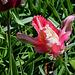 Tulipe perroquet (3)
