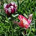 Tulipe perroquet (4)