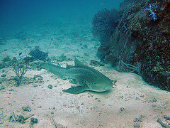A leopard shark at the morning dive