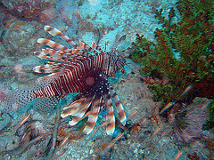 Pterois known as Lionfish