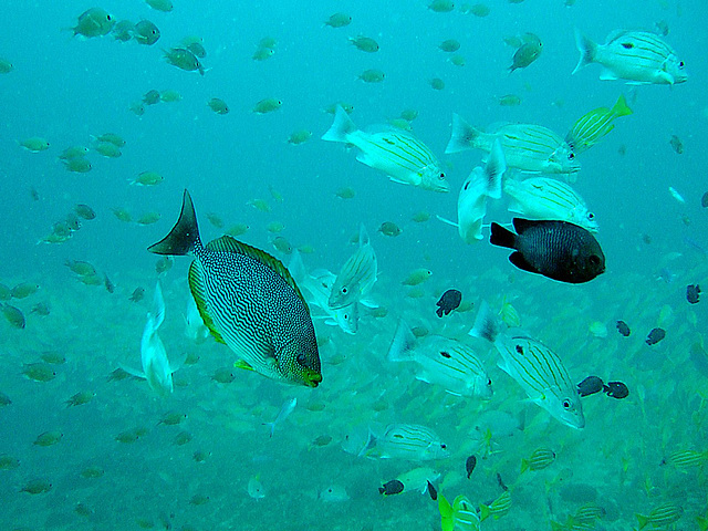 Streaked Spinefoot fish in foreground