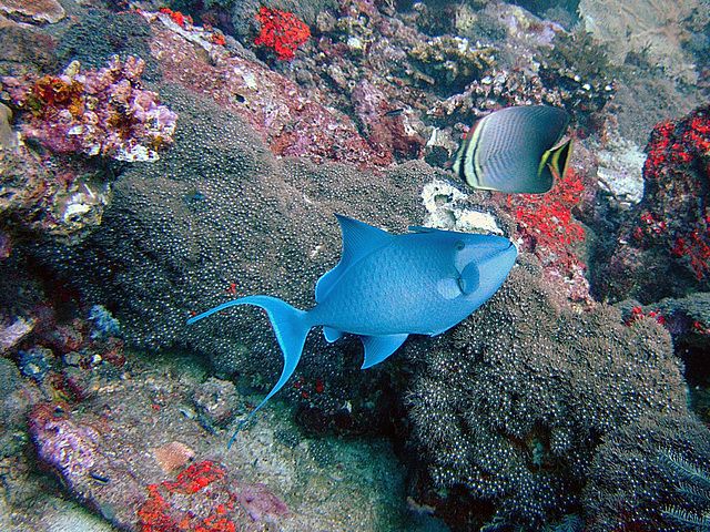 Brilliant blue doctor fish