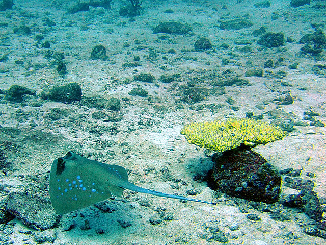 Blue pointed sting ray