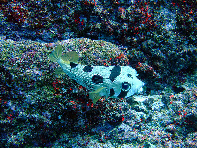 A boxfish or cofferfish