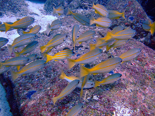School of snapper fishes
