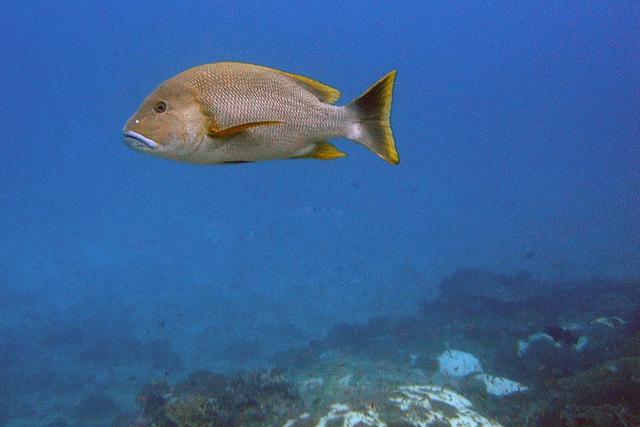 Slate sweet lip fish