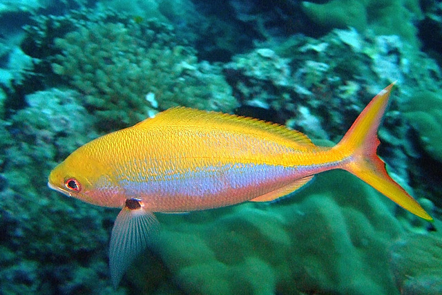 Fusilier fish with remarkable colors