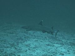A bigger whitecap reef shark