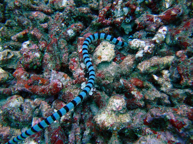 Acalyptophis peronii sea snake