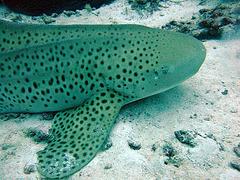 Harmless leopard shark
