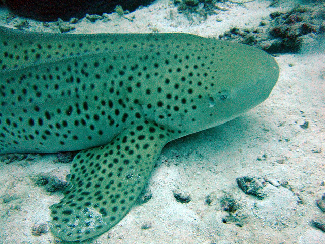 Harmless leopard shark