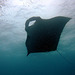 The manta underneath the surface