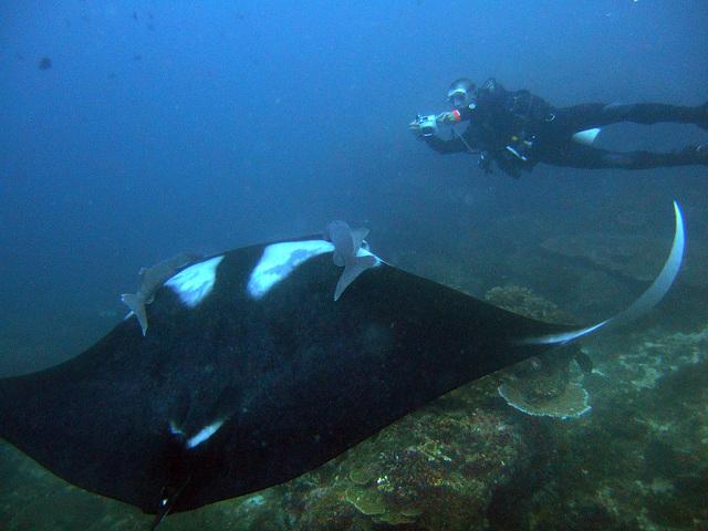 The manta ray ready for a photo shoot
