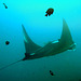 Manta ray the divers friend