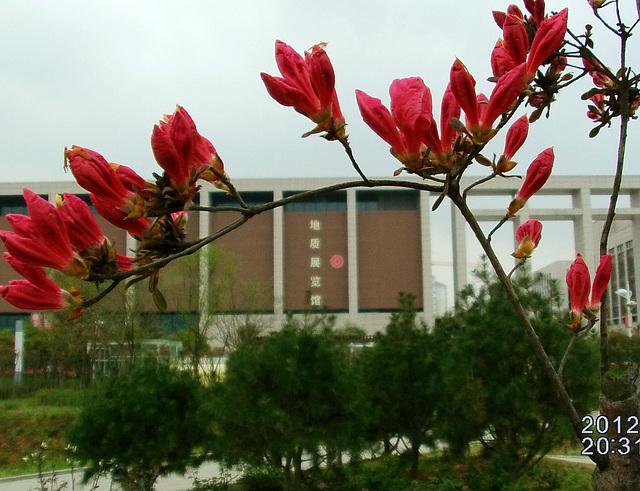 Azaleo 眏山红
