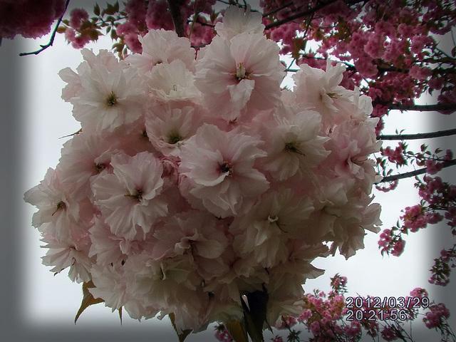 Sakuro 樱花