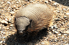 Hairy Armadillo - milieu naturel