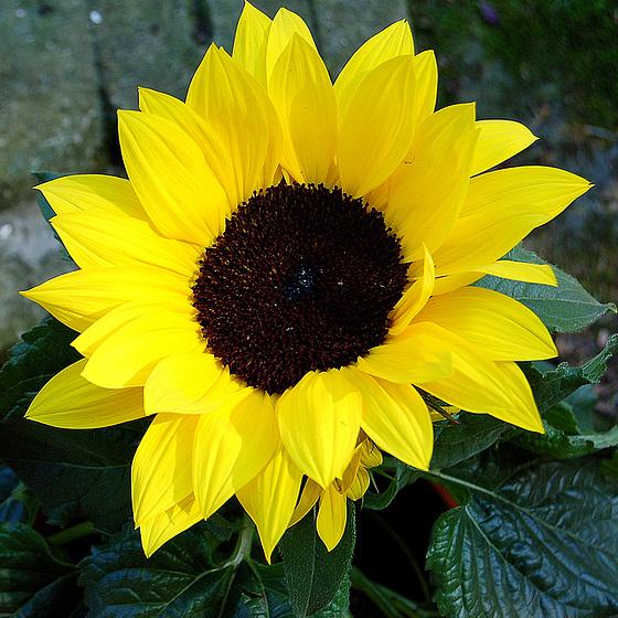 sunfloro