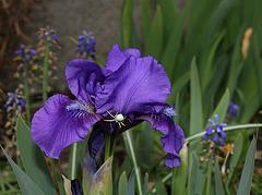 Iris nain 'Banburry Ruffles '