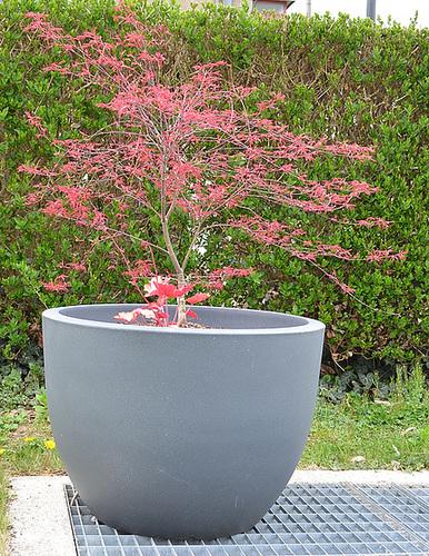 Acer palmatum beni komachi DSC 0177