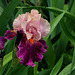 Iris Color Splash (2)
