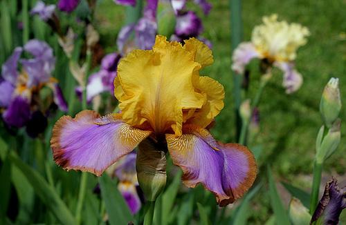 Iris Gladys Austen