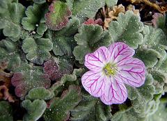 Geranium corse
