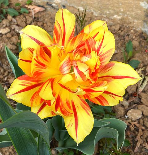 Tulipe DSC 0198