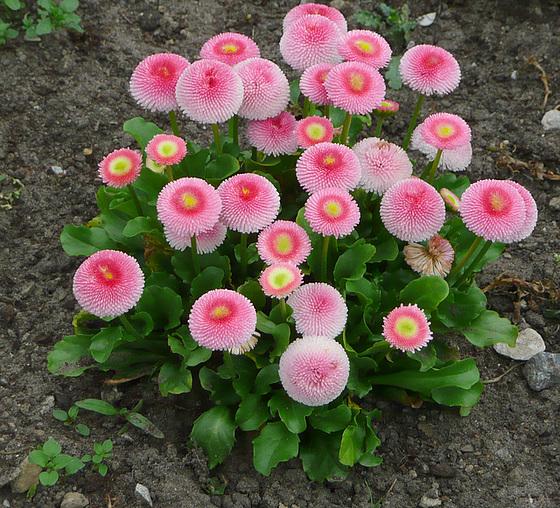 Blumen und Blüten - Tausendschön - Lekanteto