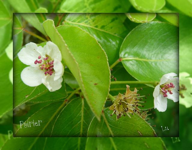 ** Fleur du poirier **