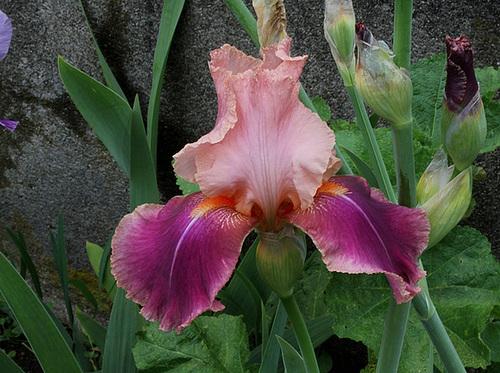 Iris Carnaby (3)