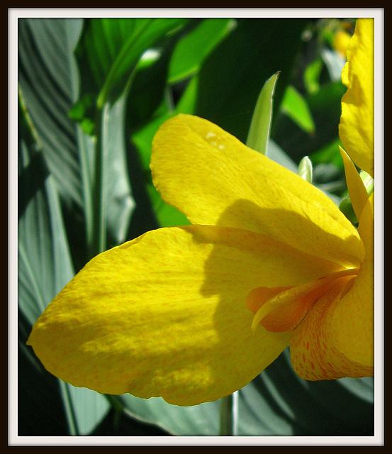 Yellow Elegance (Explored)