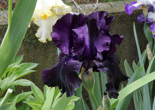 Iris Black Tie Affair (2)