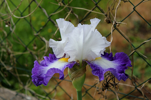 Iris Futuriste (5)