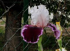 Iris Sweeter than Wine