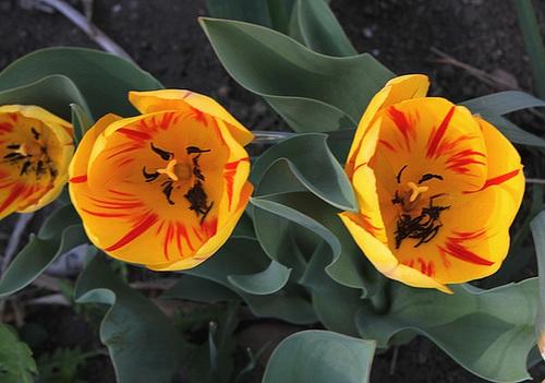 Tulipe 'Juliette'