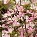 zarte Blüten - Frühling in Südtirol